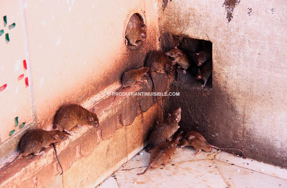colonie-rats.jpg