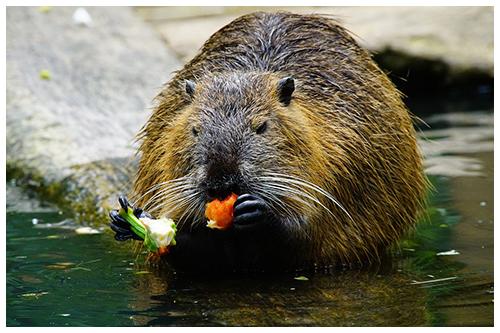 ragondin qui mange