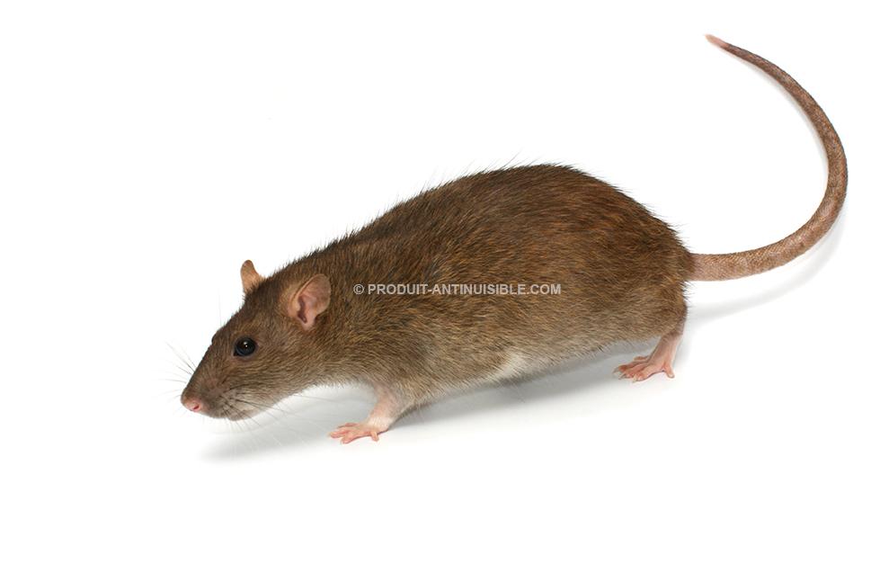 rat-caracteristique_1.jpg