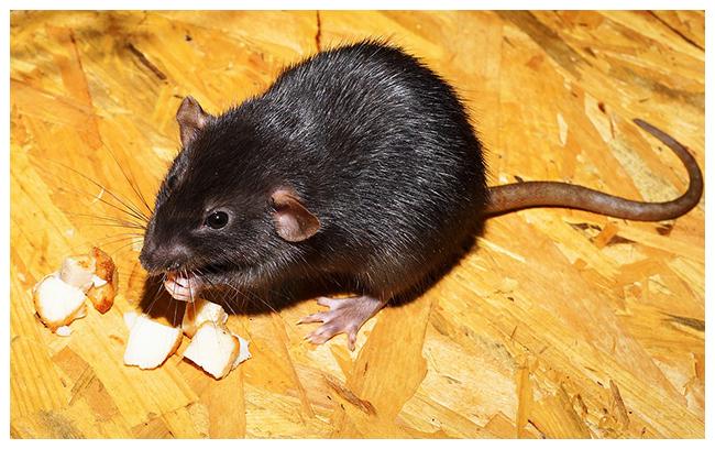 rat noir