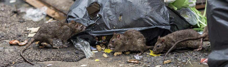 rat poubelles dechets