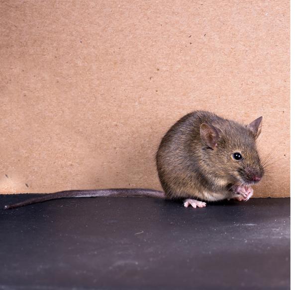 souris grise souris domestique